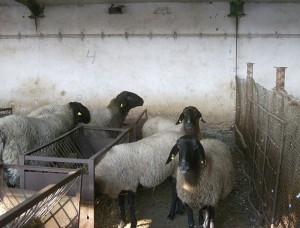 Pleven_sheep_4