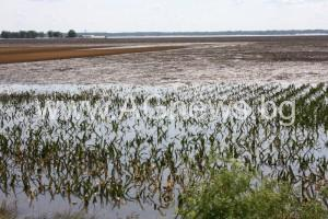 Quincy, IL, June 20, 2008 - Fields of corn are desimated and crops are ruined for the year by the flooding waters of the Mississippi River in southern Illinois. Robert Kaufmann/FEMA