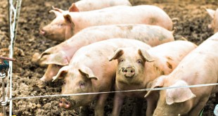Pigs on the farm. Happy pigs on pig farm. piglets